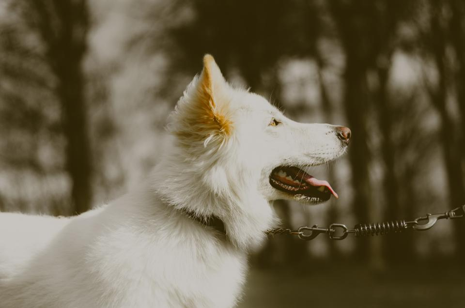 white germanshepherd dogs dog