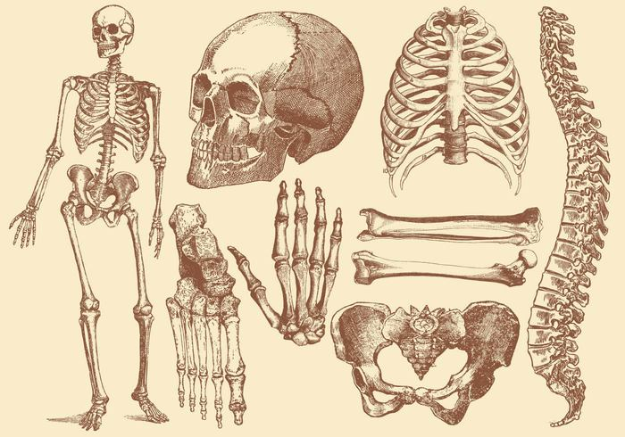 Old Style Drawing Human Bones Welovesolo