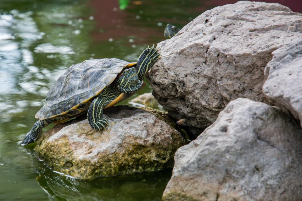 water turtle shell rocks animal