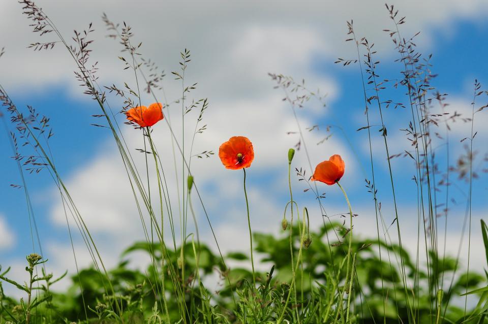 war red poppies peace fields