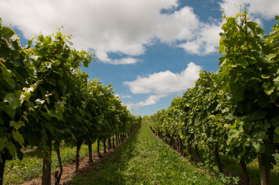 sky rural green grass grapevines grapes fields clouds agriculture