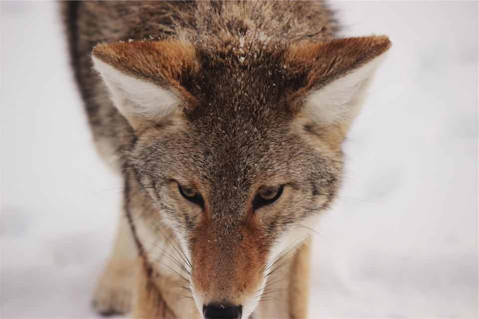 wolf wild whiskers animal