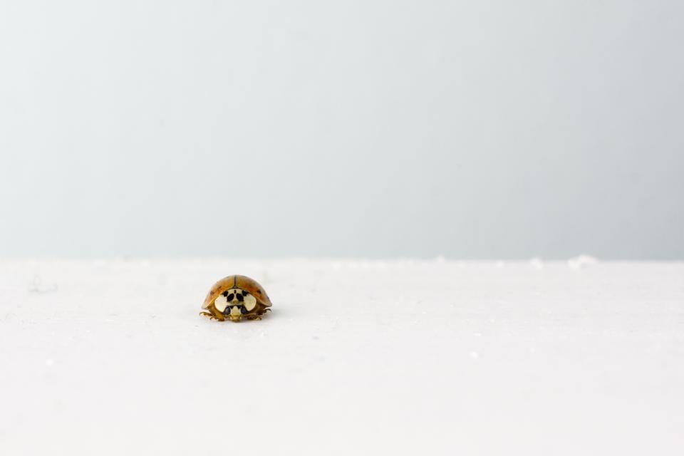 white ladybug insect grey