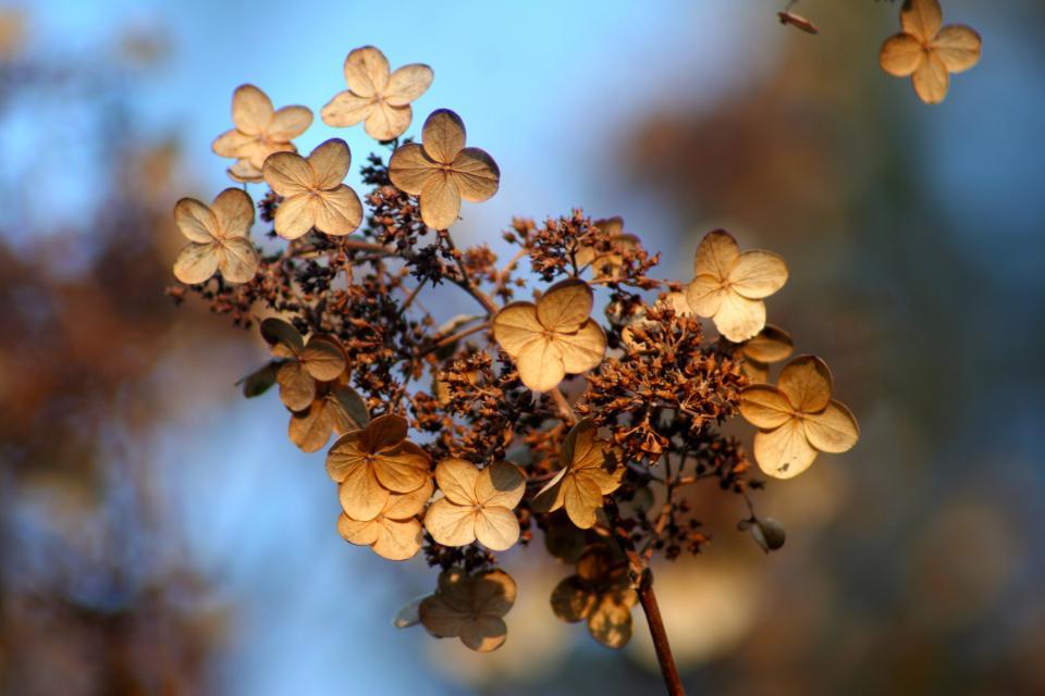 hydrangea flowers Fall autumn