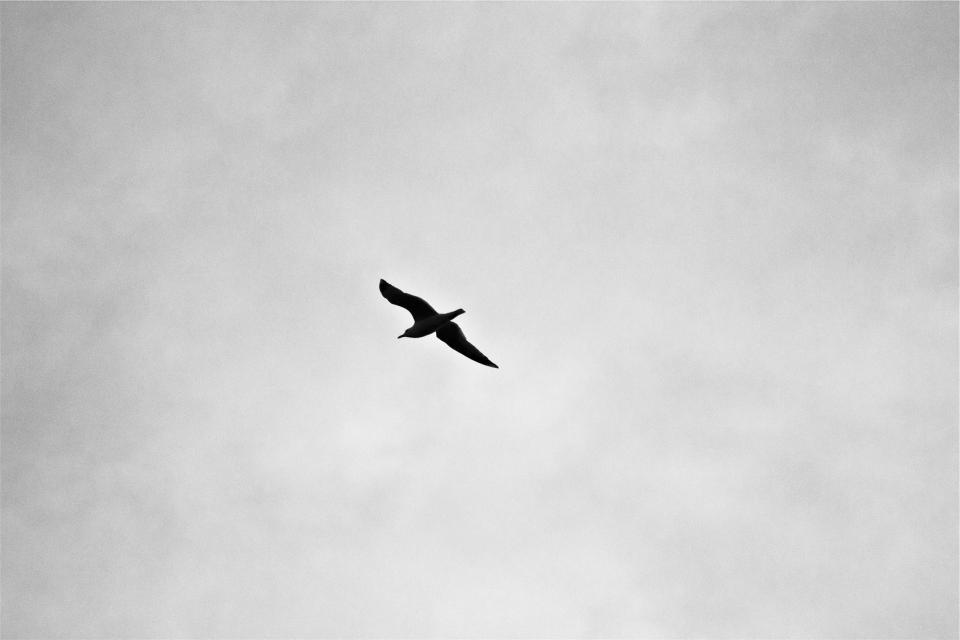 sky flying blackandwhite bird