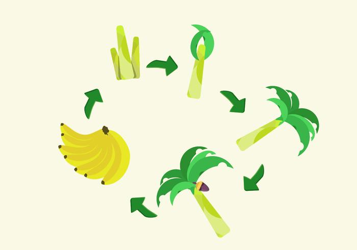 tree plant growth cycle life leaf green fruit fresh food flat cycle banana tree banana leaf banana