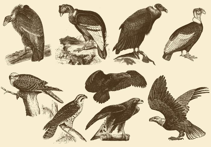 wing wildlife Vulture vultur travel tourism Talons symbol strength sharp scavenger sarcorhamphus Prey predator power Patriotism Papa pandion osprey Of Majestic leucocephalus king hunter haliaeetus gryphus freedom fly fish feather falcon Endangered eagle condor Carnivore bird Bald andean america