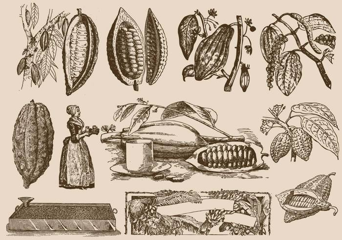 white vintage vector tropical tree seed Powder plant picture old natural line leaves isolated illustration history historic Heritage garden fruit food flower flora etching engraving engraved education drink drawn drawing Culinary cooking Cocoa beans cocoa clip art chocolate Cacao botany botanical black bean background artwork art antique ancient america