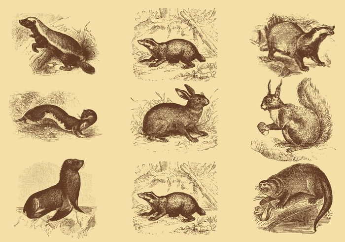 wildlife wild white vintage vector Species ratel predator picture old nature mustelid mellivora mammal isolated illustration honey badger honey fur ferocious fearless etymology etching engraving engraved drawing carnivorous Captivity capensis black badger background Asian artwork art antique animal ancient