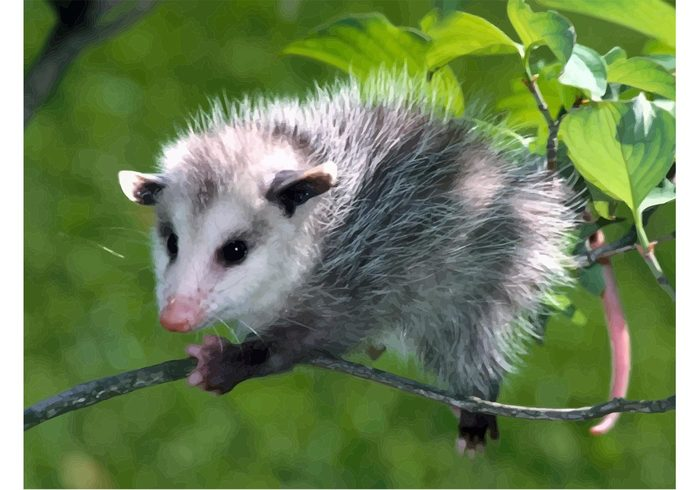 wallpaper vector tree Tlacuache Possum Opossum Oldest species alive nature climbing animal