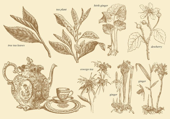 white viridis vintage tree thea tea sinensis shrub seeds plant picture old natural medicine medical line leaves kitchen isolated india illustration history historic Heritage ginger tea garden flower flora engraving engraved education drink drawn drawing cooking clip chinese china camellia caffeine botany botanical blossom black background artwork art antique ancient