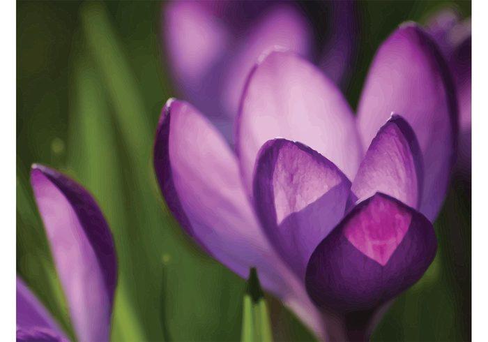 vector wallpaper valentine spring seasonal romance purple plant petal nature March macro holiday Harmony gift flower flora crocus April