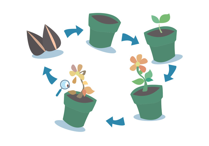 vector steps set seed planter plant growth cycles plant growth cycle plant nature life growth Evolve cycle botany blooming
