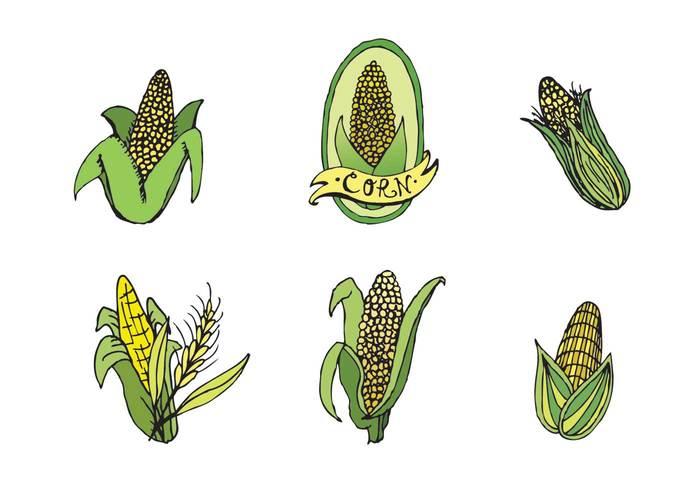 yellow corn veggie vegetable growing grow food farming farmer farm eat ear of corn crops crop corn on the cob corn crop corn cob corn Cob agriculture