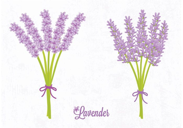 vector summer stem ribbon purple plant petal nature leaf lavender flower Lavender isolated illustration herbal Herb green gardening Fragrance foliage flower bunch bow bouquet blossom Backgrounds art abstract