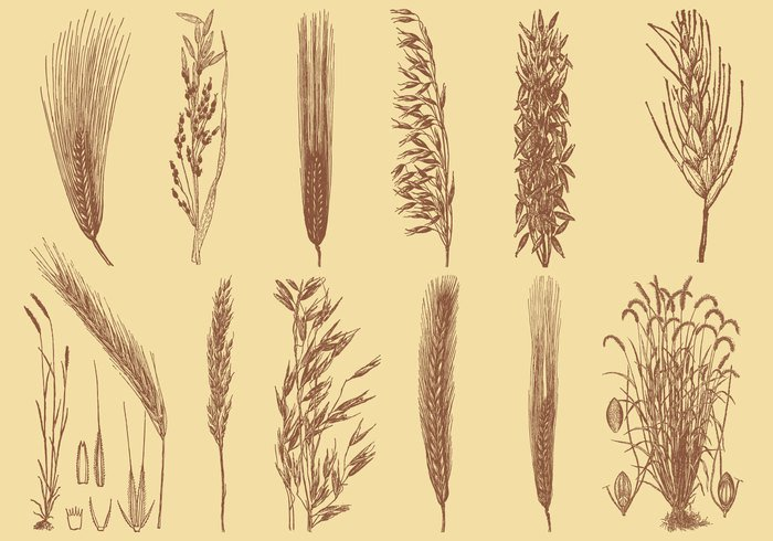 wheat vector symbol sketch sheaf set Rye rural rice plant organic object oats meal leaf isolated illustration icons harvest hand grain food field farm emblem elements Ear drawn drawing doodle design decorative crop concept collection cereal bundle bouquet barley background art agriculture