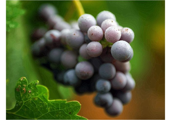 wine vine sweet Ripe red purple plant Healthy grapes grape fruit food eating bunch Berry autumn
