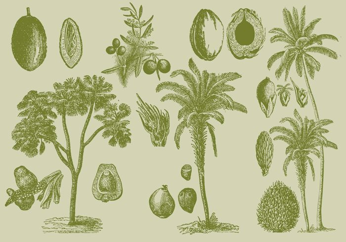wood vintage vector tropical trinidad tree tobago stem South America seed plant park palm oil palm old oil nature maximiliana regia line leaves isolated garden fruit food flower floral flora etching engraving engraved Edible botanical botanic blossom black attalea maripa art antique ancient agriculture