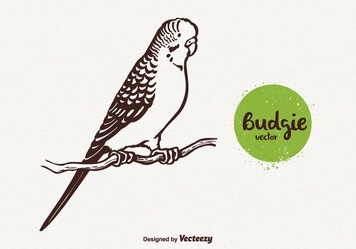 Zoology Zoo wing vector sketch pretty Plumage picture pet Perching pattern Parakeet nature illustration head hand drawn graphic feather fauna engraving drawn drawing draw doodle Domestic contour cartoon budgie birdie bird beak background animal