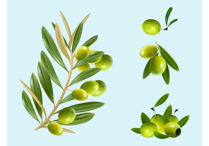 turkey tree Ripe realistic plants Olive vectors olive oil Mediterranean leaves greece fruit food Cyprus branch