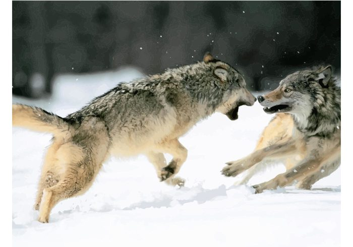 wolves wolf wildlife vector teeth strong snow nature image fighting Dangerous animals attack