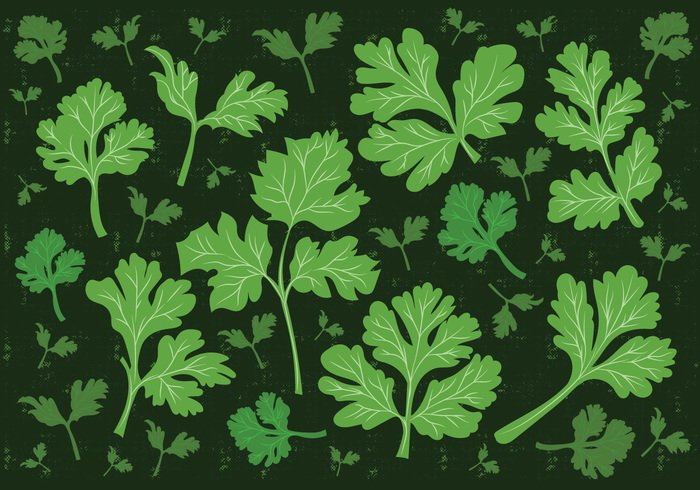 vegetarian vegetable vector Tasty Spice sativum restaurant raw plant parsley organic object nature natural menu logo leaf kitchen isolated Ingredient indian illustration icon herbal Herb Healthy green gourmet garnish fresh food flavor element dry design Cuisine coriandrum coriander cooking cook condiment cilantro chinese Asian aromatic