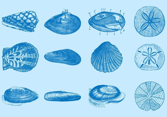 wildlife white vintage vector underwater tropical summertime summer spiral snail shell seashore seashell sea scallop reef rapana pearl ornate ocean nature mussel marine lagoon isolated illustration hand drawn grunge exotic engraving engraved elements drawing design cowry cowrie coral collection cockleshell cockle clip art clam beach background Aquatic aquarium animal