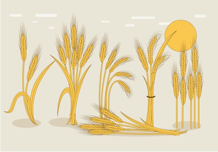 yellow wheat stalk wheat summer stalk seed plant nature grain golden flora farming cultural corn Cereals cereal background agriculture