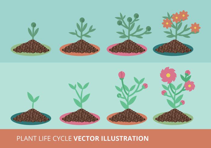 Vectors plants plant's growth plant life cycle plant growth cycle plant nature life cycle life growth cycle growth growing flowers bush