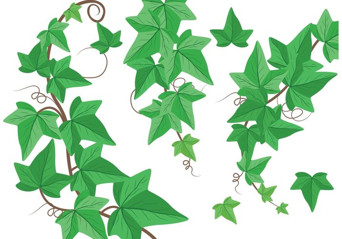vineyard vine plants plant nature natural leaf ivy vines ivy vine ornament ivy isolated growth growing green ivy green foliage Creeper botany botanical