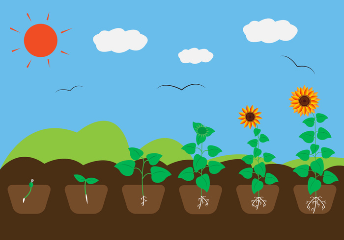 sunflower sun stages sprout soil seed roots plant growth cycle plant outside nature life leaf growth growing grow ground green environment cycle cultivation clouds birds