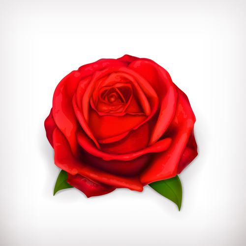 rose red illustration