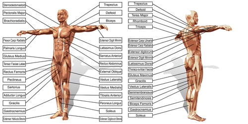 4955tpeiz43bw15 Vector human structure graphic set 09