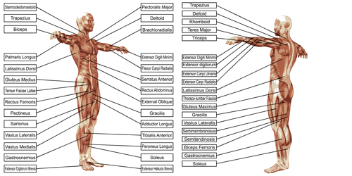 513nly3ypmqta15 Vector human structure graphic set 08
