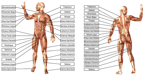 53yzc3ucj3hnq15 Vector human structure graphic set 07