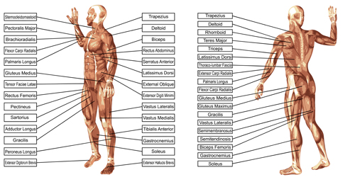 54bbciezv4soo15 Vector human structure graphic set 06
